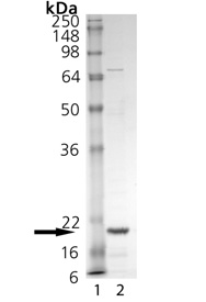 TNF-α (soluble) (mouse), (recombinant) SDS-PAGE