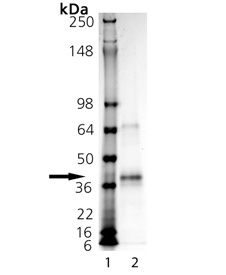 SUPERFASLIGAND® Protein (soluble) (human), (recombinant) SDS-PAGE
