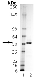 Fc (human):TNF-α (soluble) (human), (recombinant) SDS-PAGE