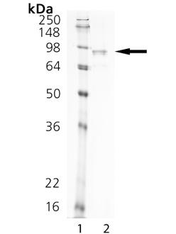 Netrin-1 (human), (recombinant) SDS-PAGE