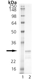 TL1A (soluble) (mouse), (recombinant) SDS-PAGE