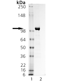 LRRC32 (human):Fc (human), (recombinant) SDS-PAGE