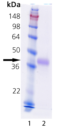 MEGACD40L® Protein (soluble) (mouse), (recombinant) SDS-PAGE