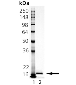 IL-33 (rat), (recombinant) SDS-PAGE