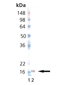 IL-33 (rat), (recombinant) Western blot