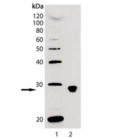 BAFF (human) monoclonal antibody (Buffy-1) Western blot