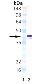 BCMA (human) monoclonal antibody (Vicky-1) (biotin conjugate) Western blot