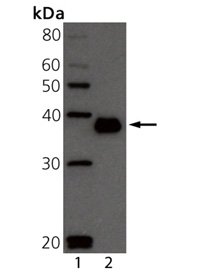 BCMA (mouse) monoclonal antibody (Vicky-2) Western blot
