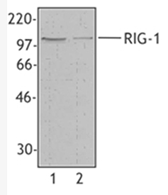 RIG-I (mouse) monoclonal antibody (SS1A) Western blot