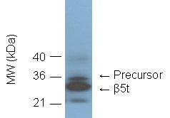 Proteasome 20S β5t subunit (human) monoclonal antibody (b8-17) Western blot