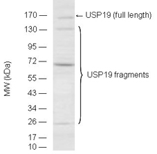 USP19 polyclonal antibody Western blot