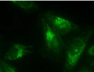 LC3 monoclonal antibody (2G6) (fluorescein labeled) Immunofluorescence
