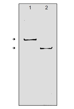 PARP-1 monoclonal antibody (C-2-10) Western blot