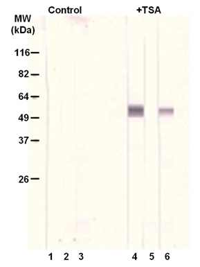 [K(Ac)40]α-Tubulin polyclonal antibody Western blot
