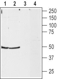 Neuropeptide Y2 receptor (rat) polyclonal antibody Western blot