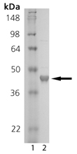 T cell protein tyrosine phosphatase (human), (recombinant) SDS-PAGE