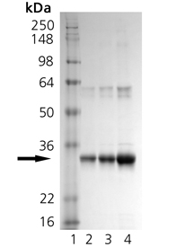H-Ras (wild-type) (human), (recombinant) SDS-PAGE