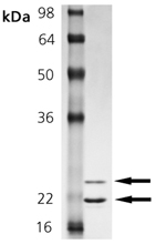 MMP-12 (catalytic domain) (human), (recombinant) SDS-PAGE