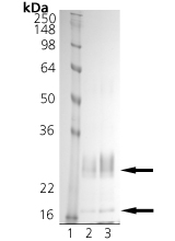 Caspase-11 (mouse), (recombinant) SDS-PAGE
