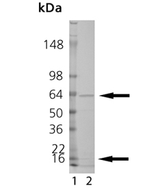 Calcineurin (human), (recombinant) SDS-PAGE