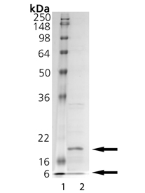 Caspase-6 (human), (recombinant) SDS-PAGE