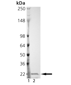 MMP-13 (catalytic domain) (human), (recombinant) SDS-PAGE