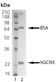 GCN5 (human), (recombinant) SDS-PAGE