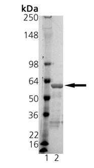 14-3-3ε (human), (recombinant) (GST-tag) SDS-PAGE