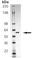 14-3-3σ (human), (recombinant) (GST-tag) SDS-PAGE
