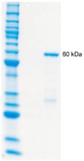 14-3-3θ/τ (human), (recombinant) (GST-tag) SDS-PAGE