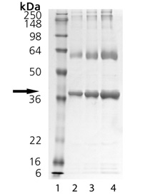 PTP1B (human), (recombinant) SDS-PAGE