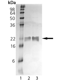 VHR dual specificity phosphatase (human), (recombinant) SDS-PAGE