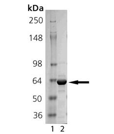 Shp-1 (human), (recombinant) SDS-PAGE