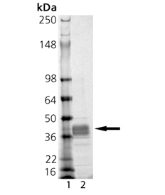 MMP-9 (catalytic domain) (human), (recombinant, E. coli) SDS-PAGE