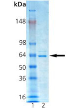 CDC25A (human), (recombinant) SDS-PAGE