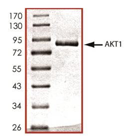 Akt1 (human), (recombinant) (GST-tag) SDS-PAGE