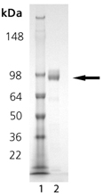 DPPIV (human), (recombinant) SDS-PAGE