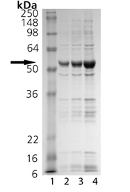 CREB binding protein (catalytic domain) (human), (recombinant) SDS-PAGE