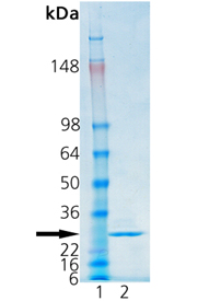 Cathepsin S (human), (recombinant) SDS-PAGE