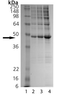 MKP-3 (human), (recombinant) SDS-PAGE