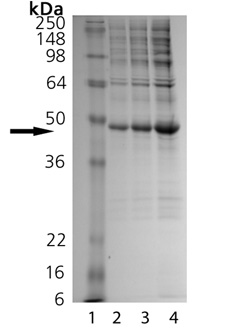 BML-SE454 SDS-PAGE