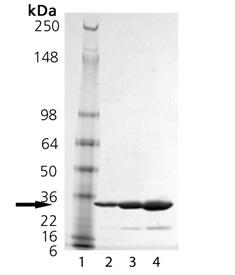 14-3-3β (human), (recombinant) (His-tag) SDS-PAGE