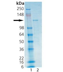 HDAC6 (human), (recombinant) (His-tag) SDS-PAGE