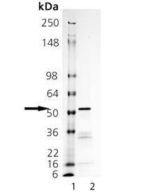 Tyrosinase (human), (recombinant) (His-tag) SDS-PAGE