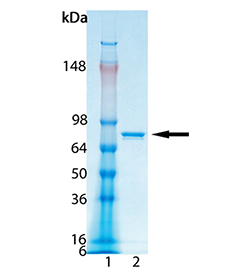 LSD1 (human), (recombinant) SDS-PAGE