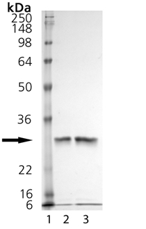 Cathepsin K (human), (recombinant) SDS-PAGE