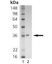 SIRT5 (human), (recombinant) (His-tag) SDS-PAGE