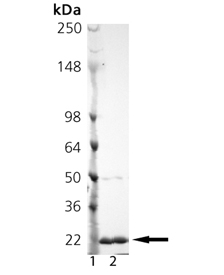 TRAIL (soluble) (mouse), (recombinant) SDS-PAGE