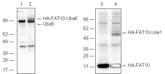 Uba6 (human), (recombinant) Western blot
