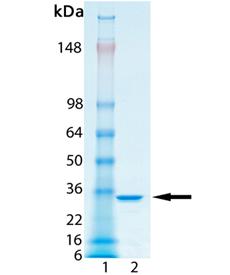 Tetra-ubiquitin (linear) SDS-PAGE